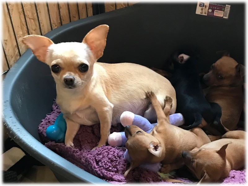 Lili Femelle Chihuahua reproductrice Haute Vienne