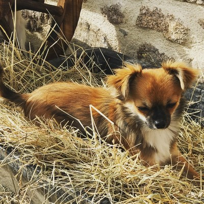 Marley Mâle Chihuahua reproducteur Haute Vienne