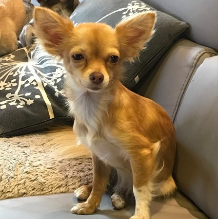 Molly Femelle Chihuahua reproductrice Haute Vienne
