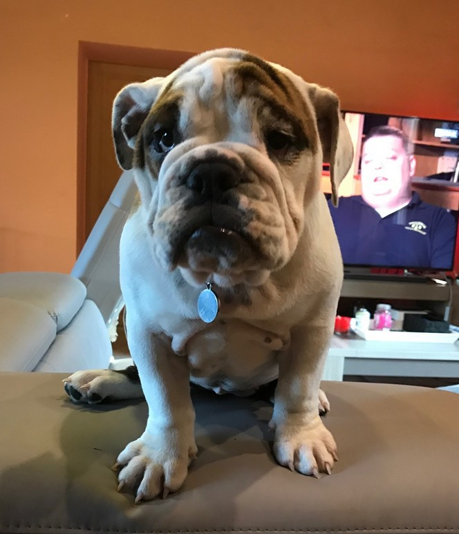 Navy Femelle Bulldog Anglais reproductrice Haute Vienne