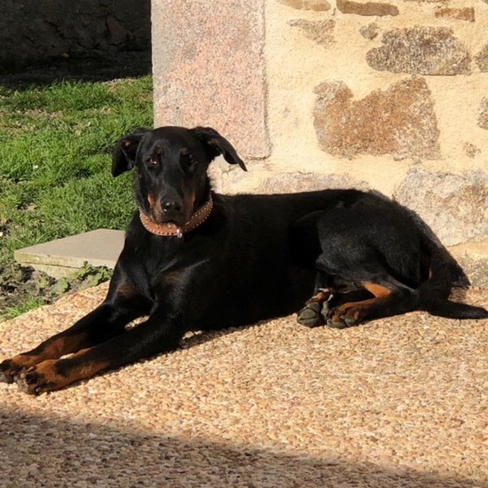 Naya Femelle Beauceron reproductrice Haute Vienne