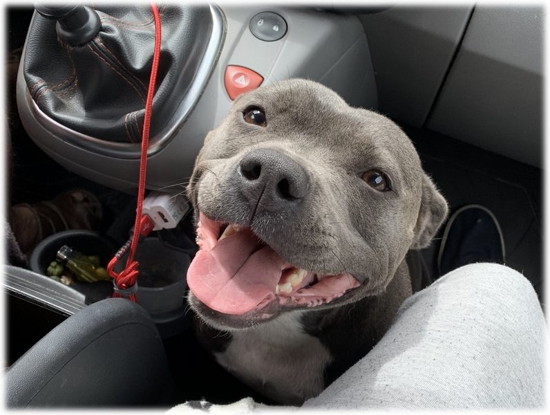 Nicky Femelle Staffy Bleue reproductrice Haute Vienne