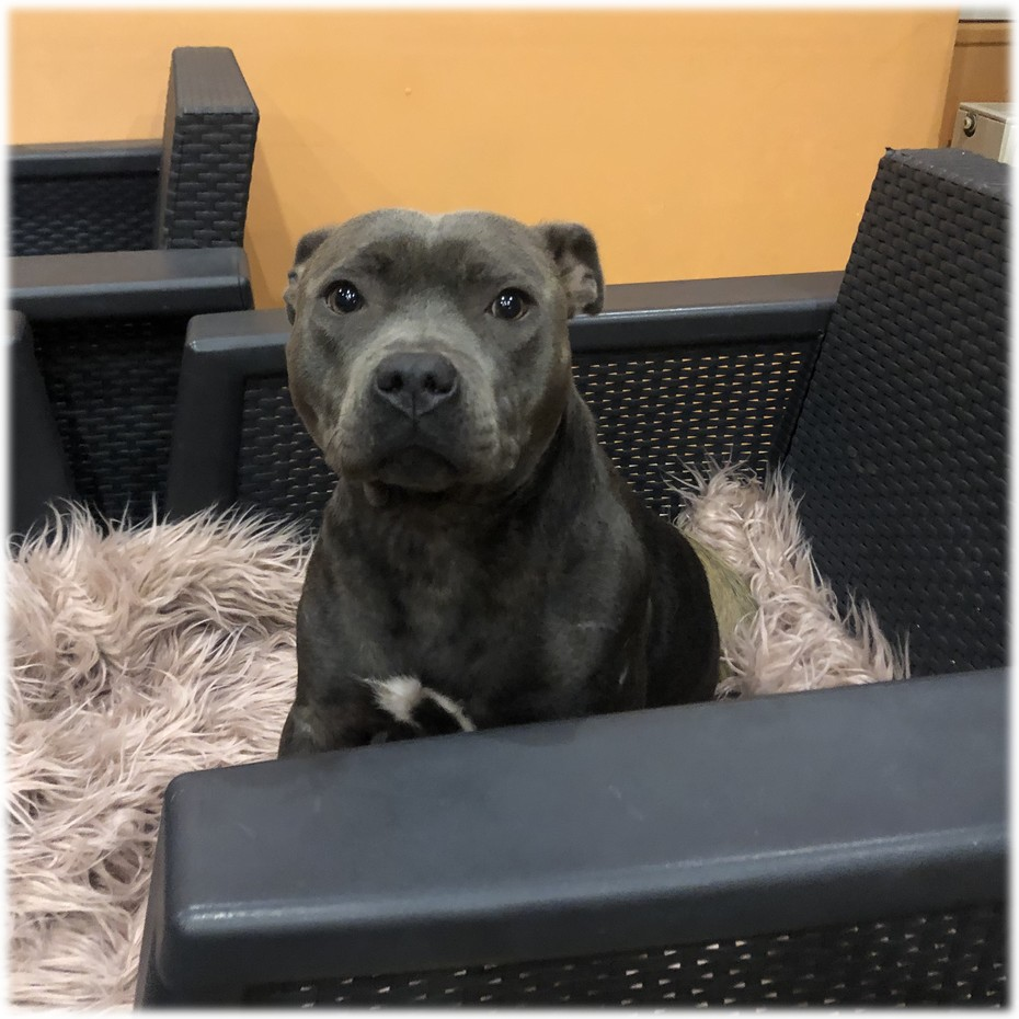 Osiris Femelle Staffy Bleue reproductrice Haute Vienne
